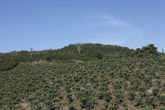 Coffee landscape, Colombia. Royalty Free Stock Photography