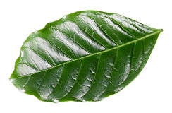 Coffee leaf Royalty Free Stock Photos