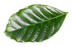 Coffee leaf Royalty Free Stock Photos