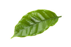 Coffee leaf Royalty Free Stock Photo