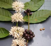 Coffee Leaves, White Flowers, Fruits and Seeds - Coffea Arabica Plant Royalty Free Stock Photography