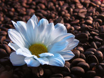 Coffee with milk. White flower on coffee beans Royalty Free Stock Image