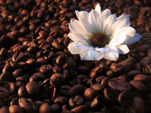 Coffee with milk. White flower on coffee beans Royalty Free Stock Photography