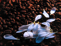 Coffee with milk. White petals on coffee beans Royalty Free Stock Images