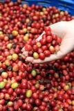 Coffee nut Stock Photo