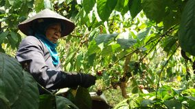 Free Coffee Picker Workers Stock Photo - 123002850