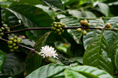 Coffee plant. With blossom and fruits Royalty Free Stock Photography