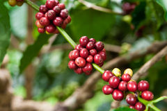 Coffee plant Stock Photography