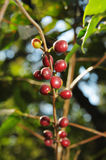 Coffee plant Royalty Free Stock Images