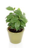 Coffee plant. In pot isolated on white Stock Photography