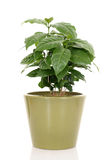 Coffee plant. In pot isolated on white Stock Photo
