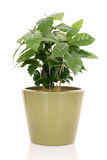 Coffee plant. In pot isolated on white Stock Image