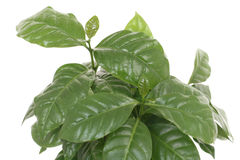 Coffee plant. Leaves isolated on white Stock Photos