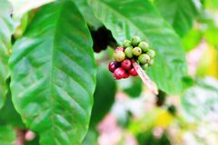 Coffee plant with beans at Vietnam. Coffee plants with ripe red coffee cherries and unripee green coffee beans found everywhere in Vietnam Royalty Free Stock Images