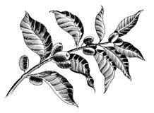 Coffee plant. Black and white illustration of a coffee tree crop royalty free illustration