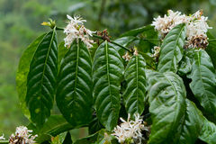 Coffee plant in bloom. Blooming coffee plant in tropical rainforest, Bali, Indonesia Stock Photo