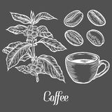 Coffee plant branch with leaf, berry, coffee bean, cup, seed. Natural organic caffeine.  Stock Image