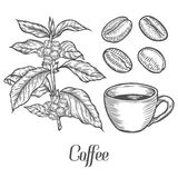 Coffee plant branch with leaf, berry, coffee bean, cup, seed. Natural organic caffeine.. Green coffee, luwak. White on black background. Hand drawn sketch Royalty Free Stock Photos