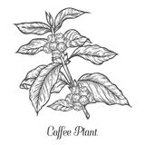 Coffee plant branch with leaf, berry, coffee bean, fruit, seed. Natural organic caffeine.. Green coffee, luwak. Black on white background. Hand drawn sketch Stock Image
