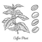 Coffee plant branch with leaf, berry, coffee bean, fruit, seed. Natural organic caffeine.. Green coffee, luwak. Black on white background. Hand drawn sketch Royalty Free Stock Images