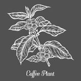 Coffee plant branch with leaf, berry, coffee bean, fruit, seed. Natural organic caffeine. Green coffee, luwak. White on black background. Hand drawn sketch Stock Images