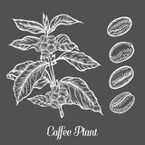 Coffee plant branch with leaf, berry, coffee bean, fruit, seed. Natural organic caffeine.. Green coffee, luwak. White on black background. Hand drawn sketch Royalty Free Stock Images