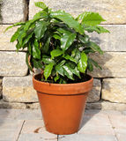 Coffee plant. On brown background Royalty Free Stock Photos