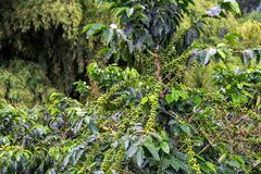 Coffee Plant with Coffee Stock Image