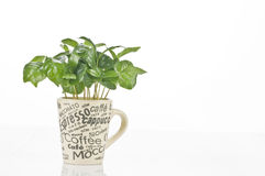 Coffee plant in a cup. Coffee plant in a mug isolated over white background Royalty Free Stock Image