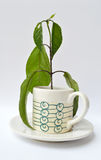 Coffee plant in a cup. On white background Stock Image