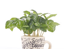 Coffee plant in a cup Stock Photo