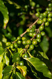 Coffee Plant Detail Royalty Free Stock Photography