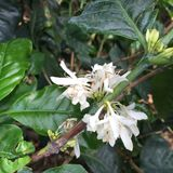 Coffee plant flowering. On a coffee plantation in Costa Rica Stock Photos