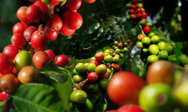 Coffee plant. Harvest. Royalty Free Stock Images
