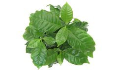 Coffee plant Royalty Free Stock Photo