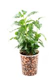 Coffee plant isolated Stock Photos