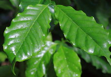 Coffee Plant Leaves. Green Arabian Coffee Plant Leaves with water droplets Stock Image