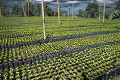 Coffee plant nursery Royalty Free Stock Photography