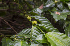 Coffee plant. Picure of a coffe flowers growing on plantation in Indonesia. Bali Stock Photos