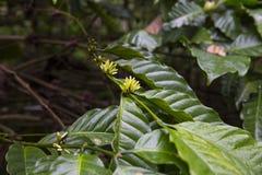 Coffee plant Stock Photos