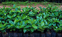 Coffee plant. In plastic bag Stock Photography