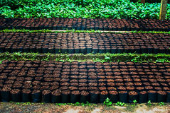 Coffee plant. In plastic bag Stock Photos