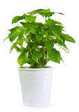 Coffee plant in a pot. Isolated on white background Stock Image