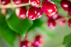Coffee plant. Red coffee beans growing on a branch royalty free stock photography