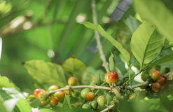 Coffee plant with ripe grains. A plant of coffee with red ripe grains in natural environment . This picture has been captured in a venezuelan coffee sowing Royalty Free Stock Images