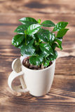 Coffee plant seedlings in a mug. Shallow dof stock images