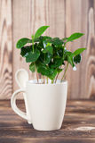 Coffee plant seedlings in a mug. Shallow dof royalty free stock images