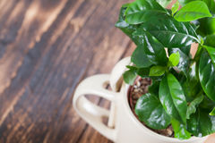 Coffee plant seedlings in a mug. Shallow dof stock photography