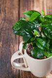 Coffee plant seedlings in a mug. Shallow dof royalty free stock image