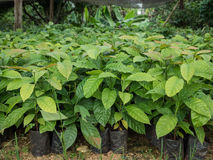 Coffee plant seedlings in Thailand nursery Royalty Free Stock Images